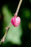 Antignon Flower
