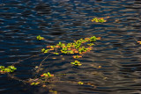 Water Weed II