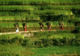 Women in the Rice Fields, Pokhara