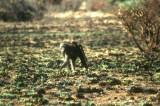 Baboon and baby, Pilanesberg