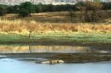 Crocodile at Pilanesberg