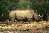 Rhino at Pilanesberg
