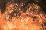 Impala at Pilanesberg