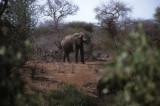 Elephant feeding at Kruger