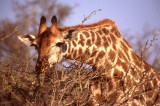 Giraffe feeding at Kruger