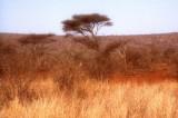 Acacia and Savanna at Kruger