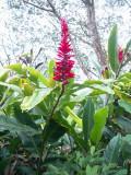 Ginger plant Volcano NP Hawaii 008.JPG