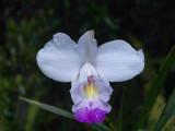 Orchid at Volcano NP Hawaii 037.JPG