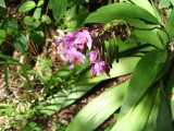 Orchids at Lava Tree monument Picture 075.jpg