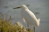 Snowy Egrets of NJ