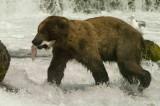 Brown Bears at Brooks and Lake Clark, AK