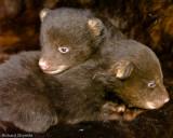 Baby Bears in MN