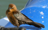 Boat-tailed Grackle - Female