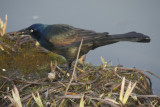 Common Grackle with Crayfish dinner