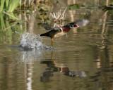 Wood Duck takes flight