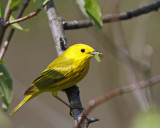 Yellow Warbler with lunch