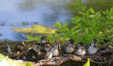 Nine Little Wood Ducks