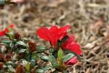 'Coronado Red'