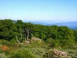 calendulaceum, arborescens