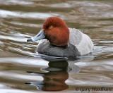 birds_redhead_duck