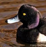 Birds Tufted Duck