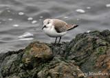 Birds Sanderlings