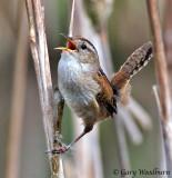 Birds Marsh Wren