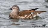 Birds   Mandarin Duck