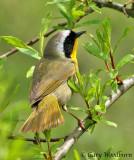Birds  Common Yellow Throat