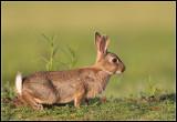 *** Wild Rabbits ***