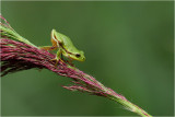 *** Tree frogs/ Boomkikker ***
