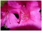 Azalea Closeup 2007