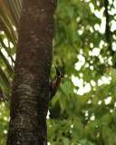 Lesser Flame backed wood pecker