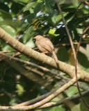 Jungle Babler