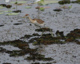 Bronze Winged Jacana chick