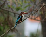 White Breatsed Kingfisher