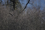 Eagles along the Skagit River 2007