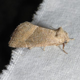 9748 Frothy Moth - Plagiomimicus spumosum