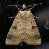 10955 Pale-banded Dart - Agnorisma (Xestia) badinodis