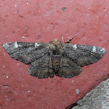 6763 Oak Beauty - Nacophora quernaria