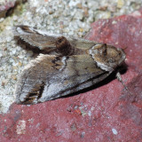 8973 Small Baileya - Baileya australis