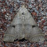 8370  Bent-wing Owlet - Bleptina caradrinalis