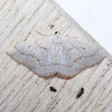 6668 Gray Spring Moth - Lomographa glomeraria