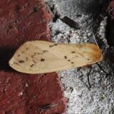 8129  Isabella Tiger - Pyrrharctia isabella