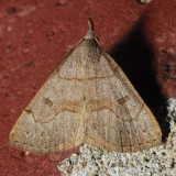 8355  Morbid Owlet - Chytolita morbidalis