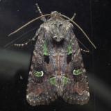10397 Bristly Cutworm - Lacinipolia renigera