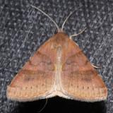 8738  Clover Looper - Caenurgina crassiuscula