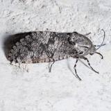 2693  Carpenterworm - Prionoxystus robiniae