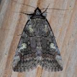8873 Similar Underwing - Catocala similis