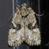 9404 Black-banded Brocade - Oligia modica